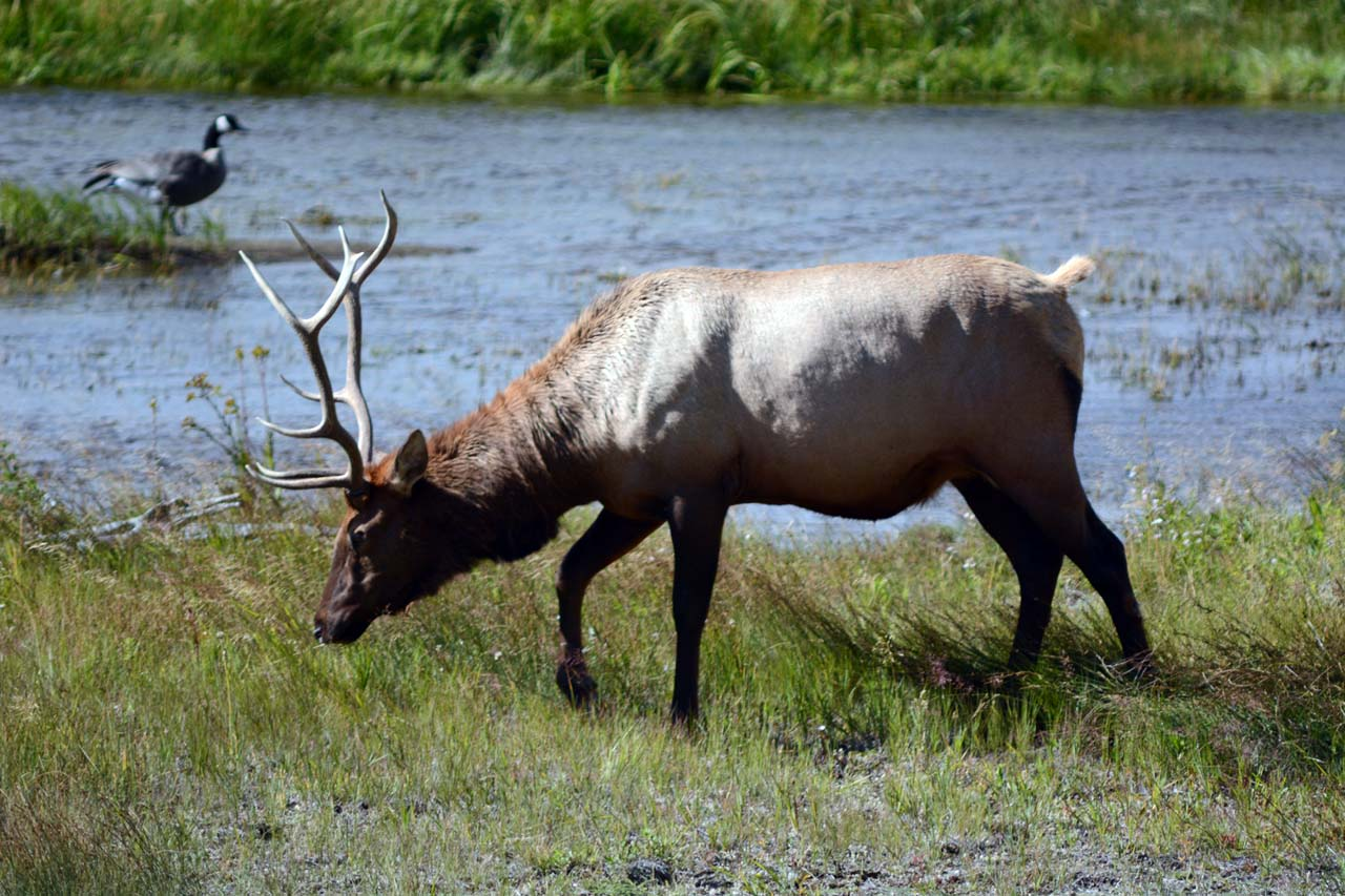 Elk by the river