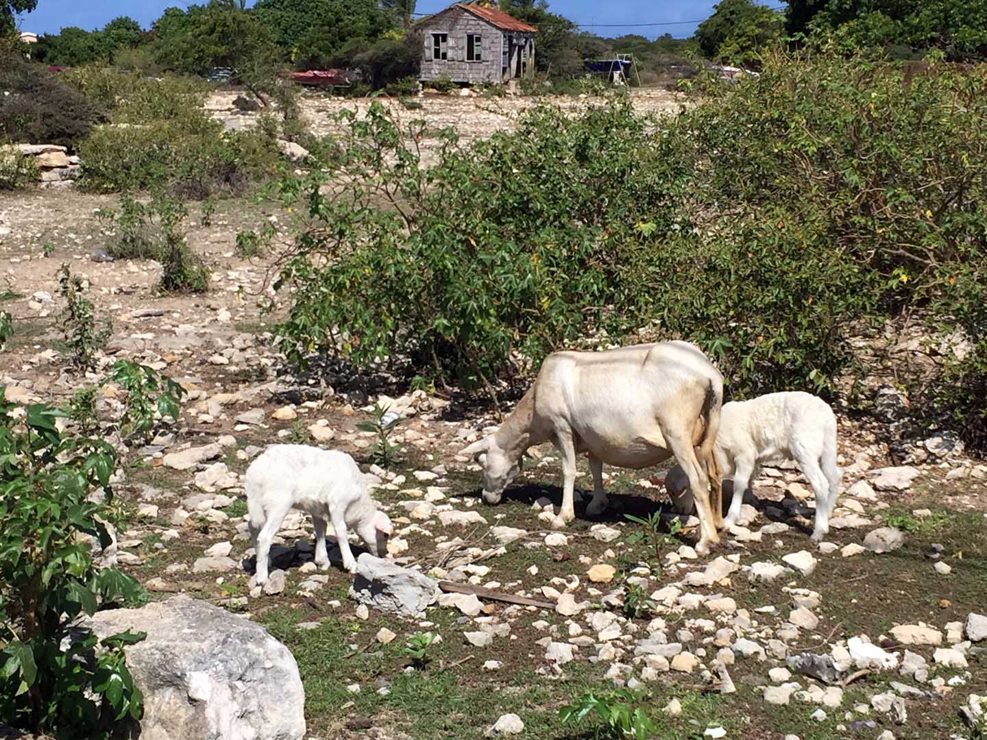 Goats in Settlement