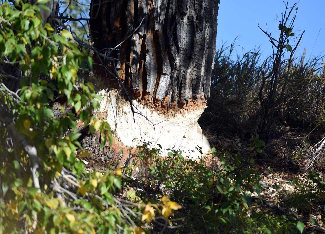 Beaver damage-Teton