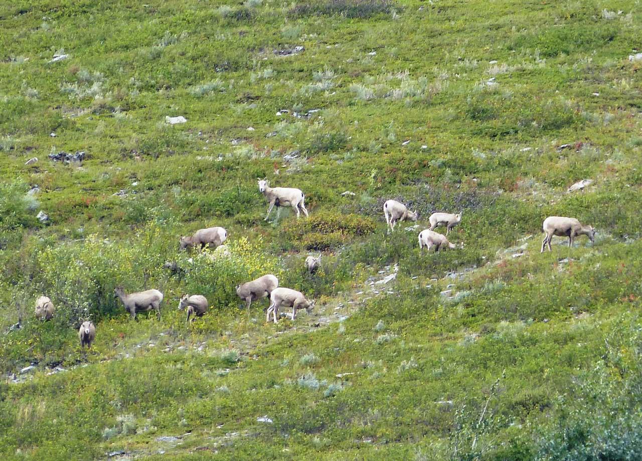 Glacier mountain goats Many Glacier-BM