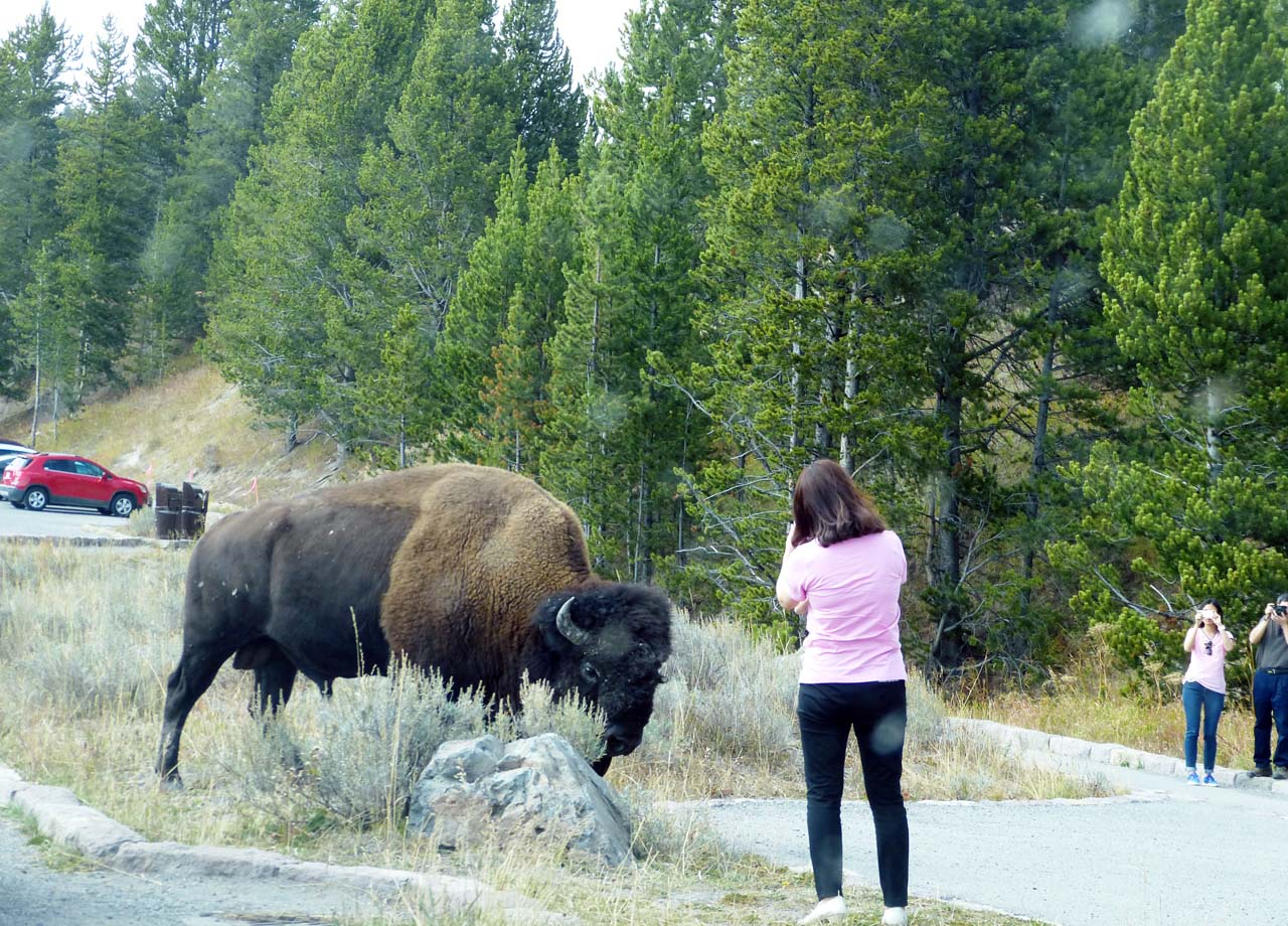 Woman near bison