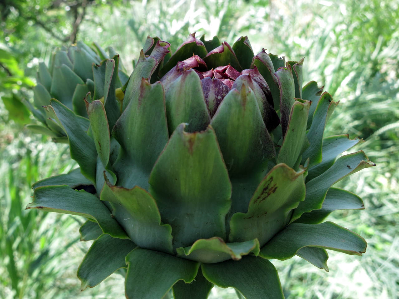 My first ever artichoke sighting (!) - Mazzorbo